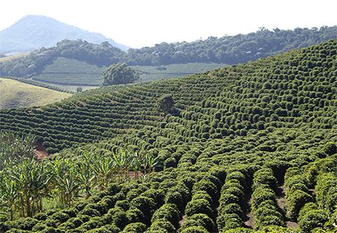 Em 2016 produção mundial de café deverá ser de 150 milhões de sacas e a brasileira de 49,7 milhões de sacas de 60kg