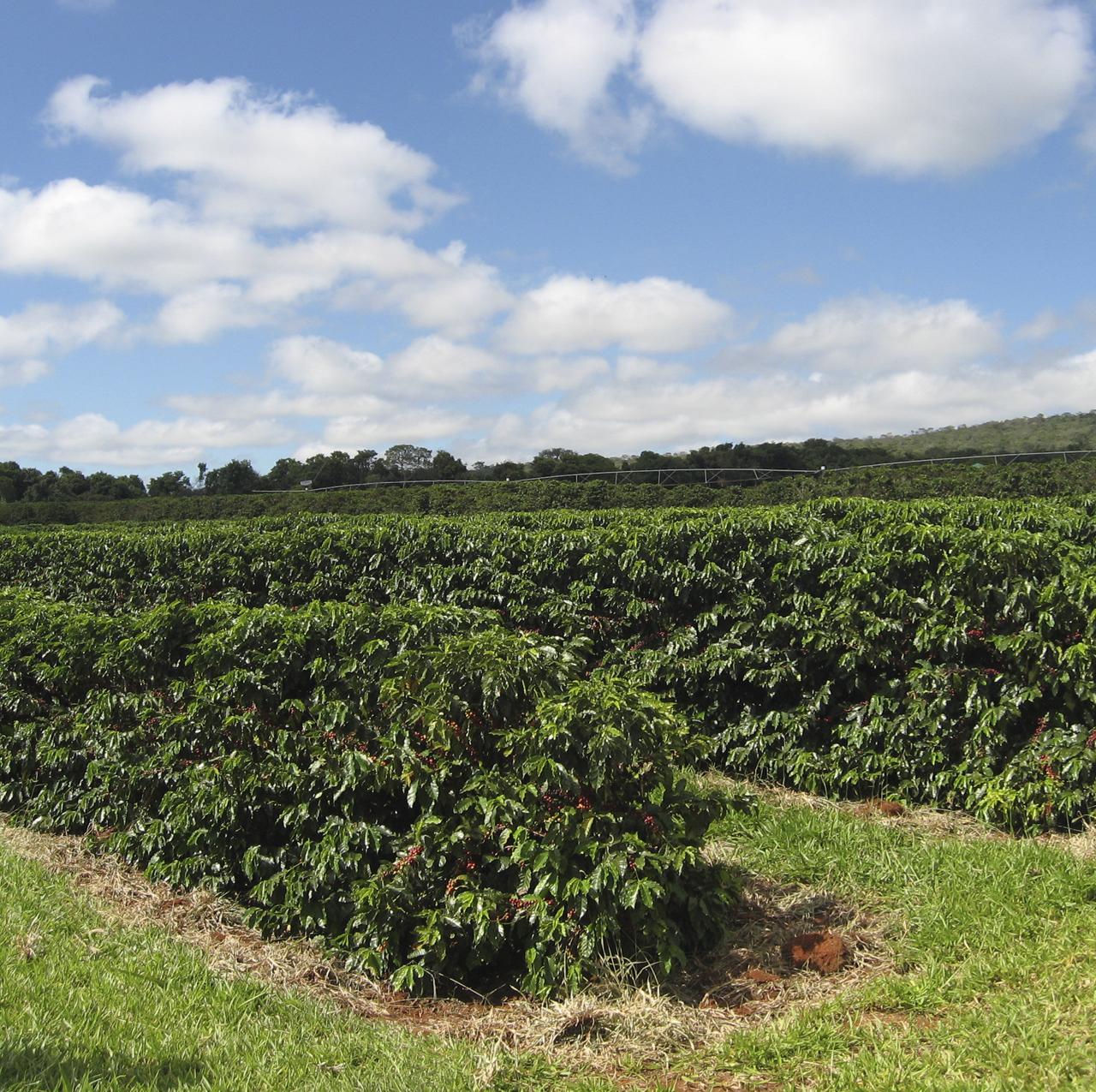 Poda do cafeeiro contribui para aumento da produtividade da lavoura