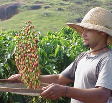 Sustentabilidade dos Cafés do Brasil tem início com a escolha correta de cultivares produtivas com resistência a doenças