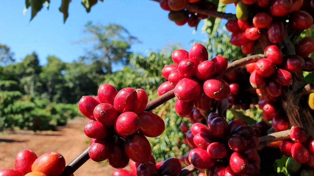Boas práticas agrícolas contribuem para definir características de identidade e qualidade dos grãos do café